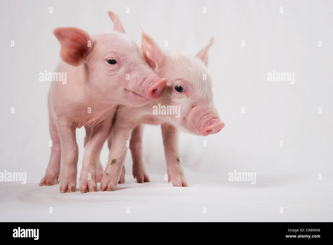 Two piglets - Stock Image