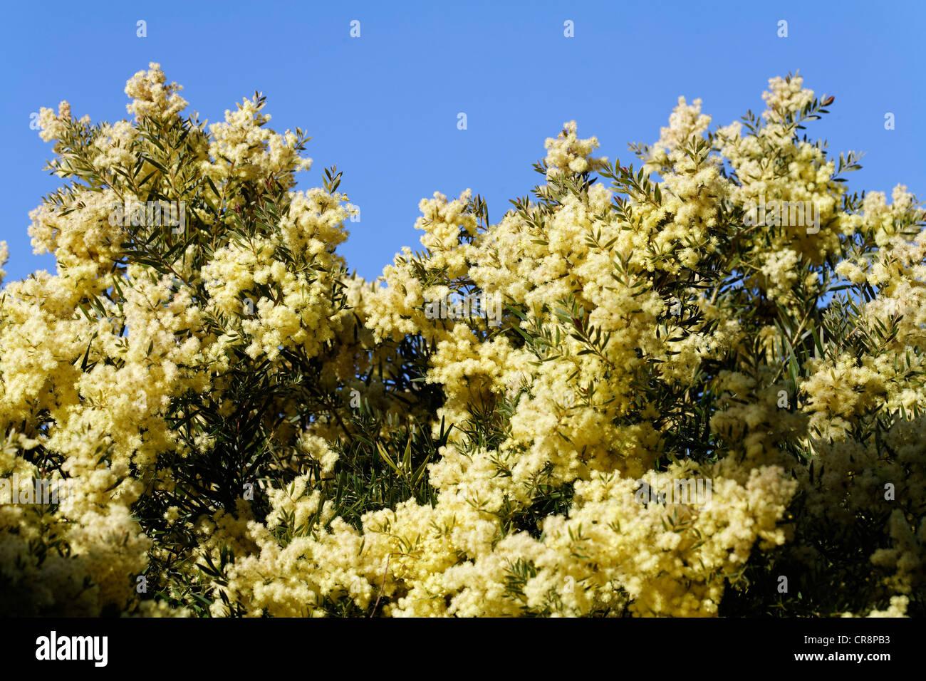 Flowering acacia trees stock photos flowering acacia trees stock flowering mimosas acacia convenyi bormes les mimosas provence alpes mightylinksfo