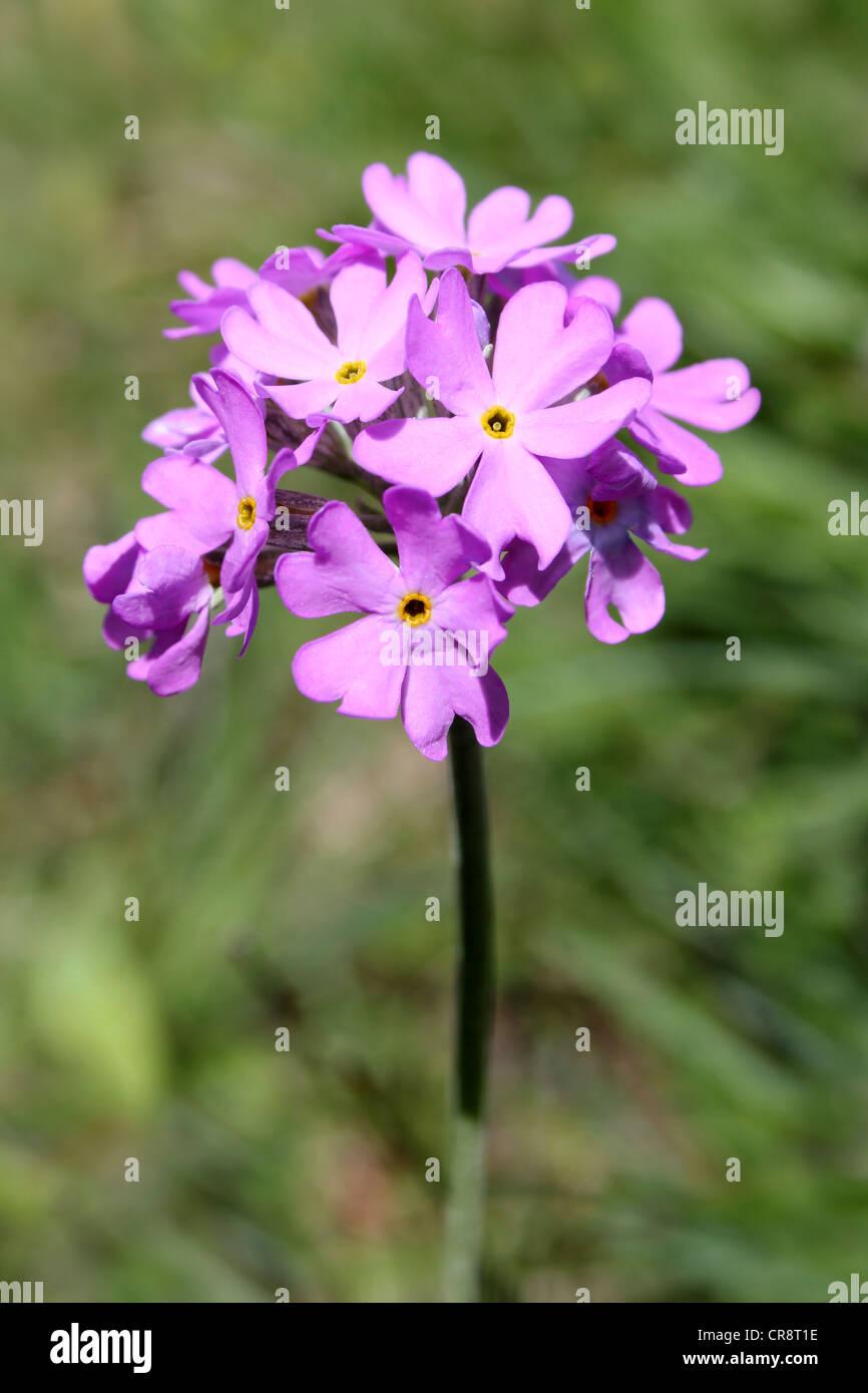 Bird's-eye Primrose Primula farinosa Stock Photo