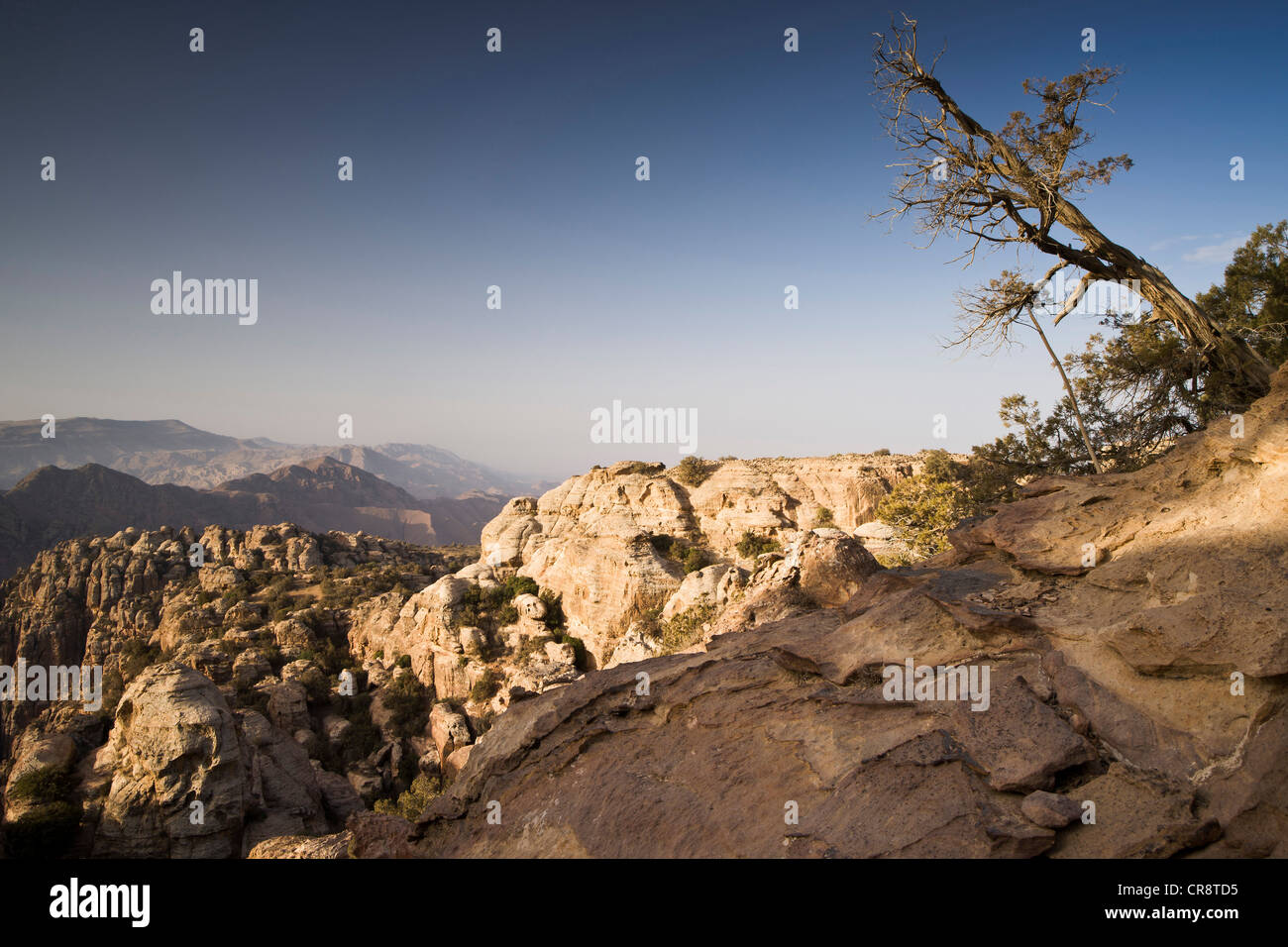 Oblique-growing tree, Dana Nature Reserve, Jordan, Middle East, Asia - Stock Image