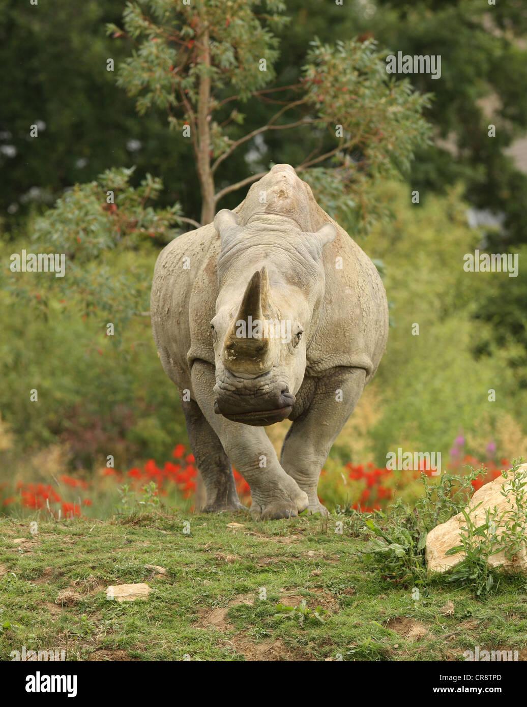 A White Rhino charging - Stock Image