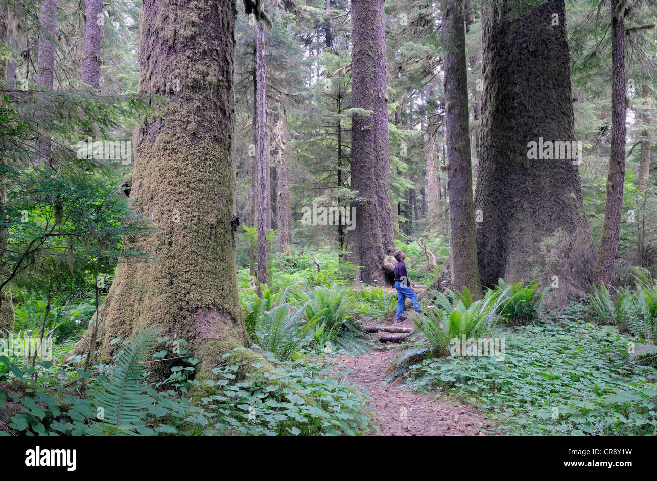 Randy Stoltmann Commemorative Grove, Sitka Spruce trees, Carmanah Walbran Provincial Park, British Columbia, Canada Stock Photo