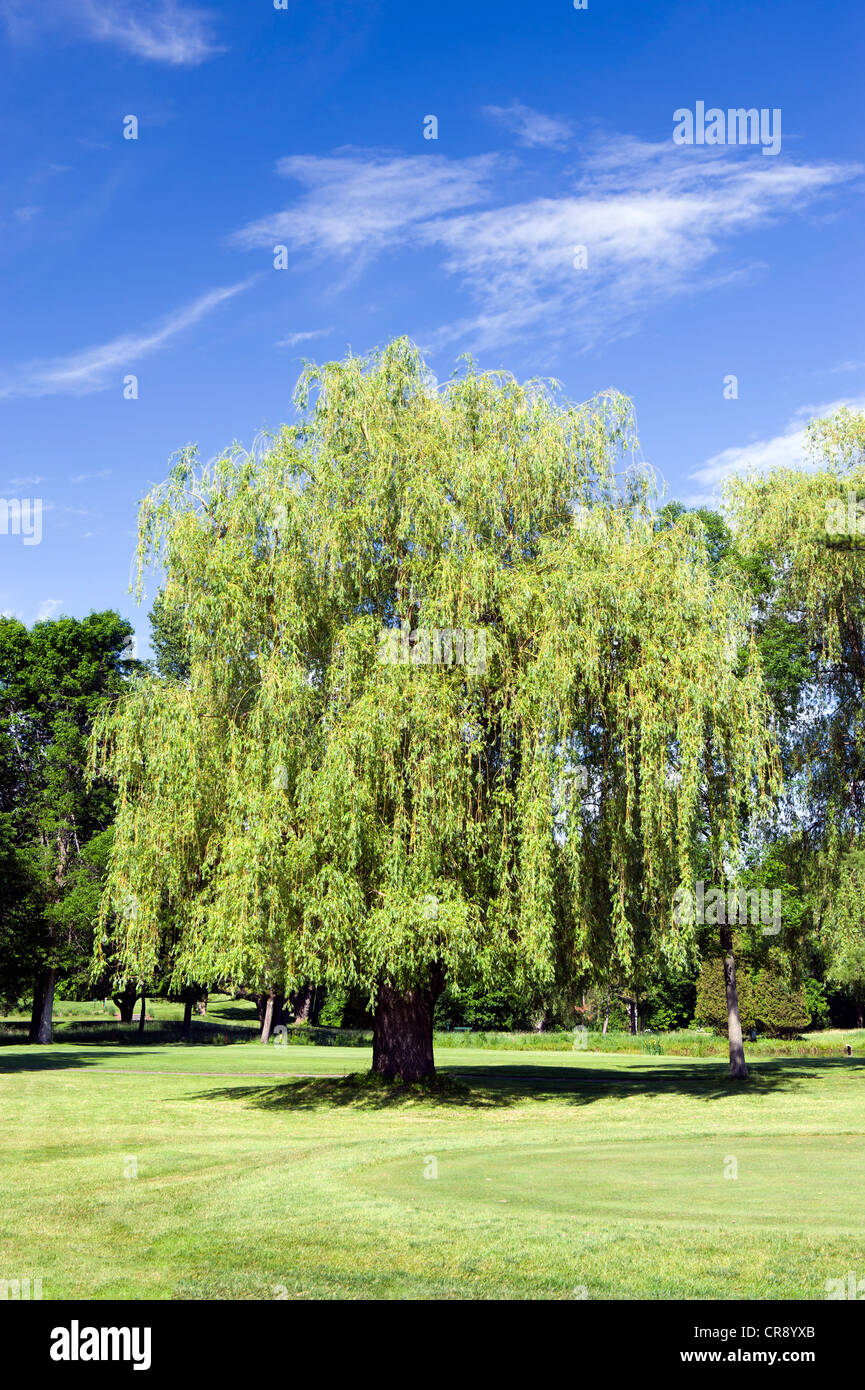 Mature willow trees