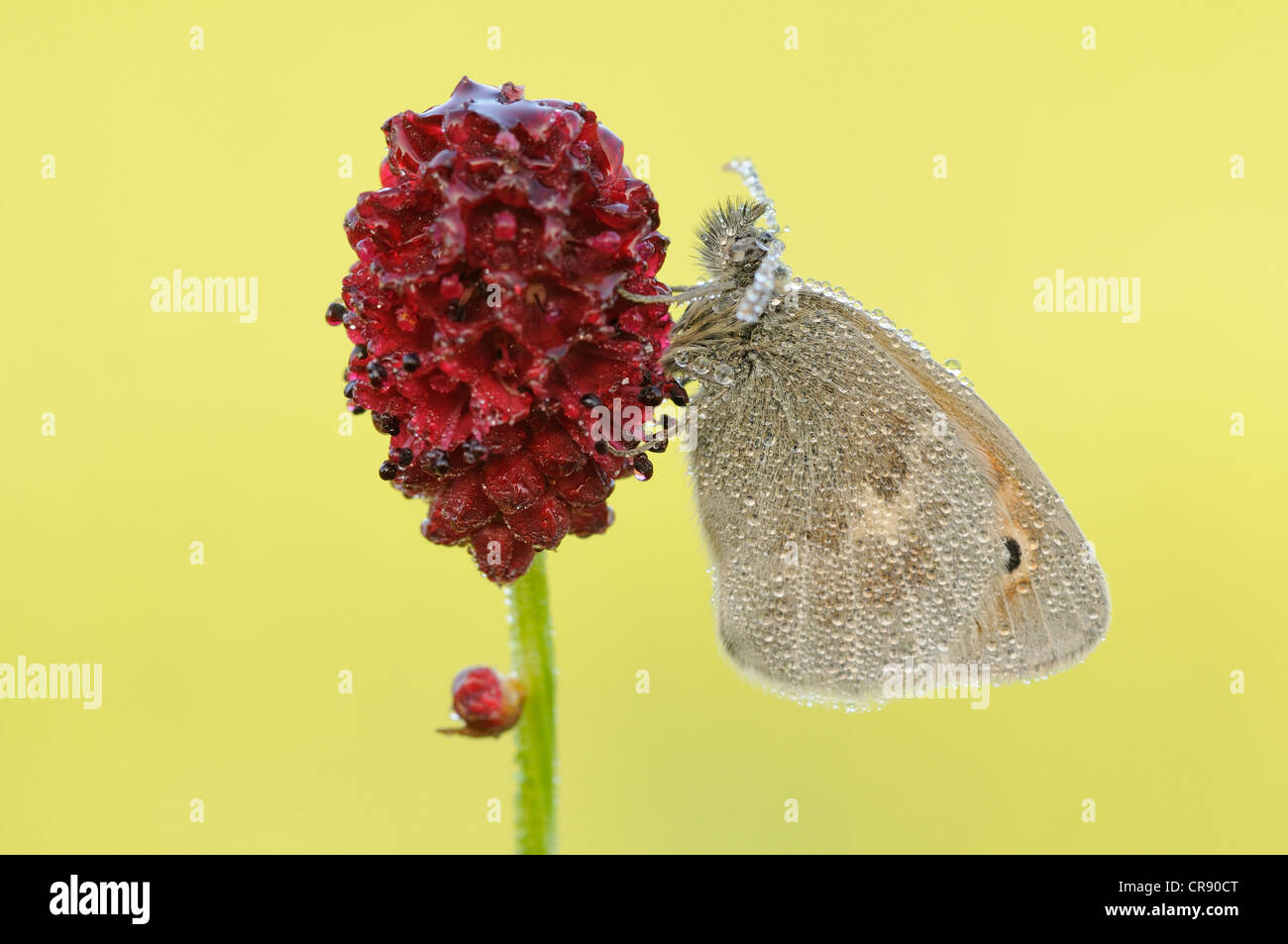 Small heath (Coenonympha pamphilus) on a burnet, Middle Elbe Biosphere Reserve, Saxony-Anhalt, Germany, Europe - Stock Image