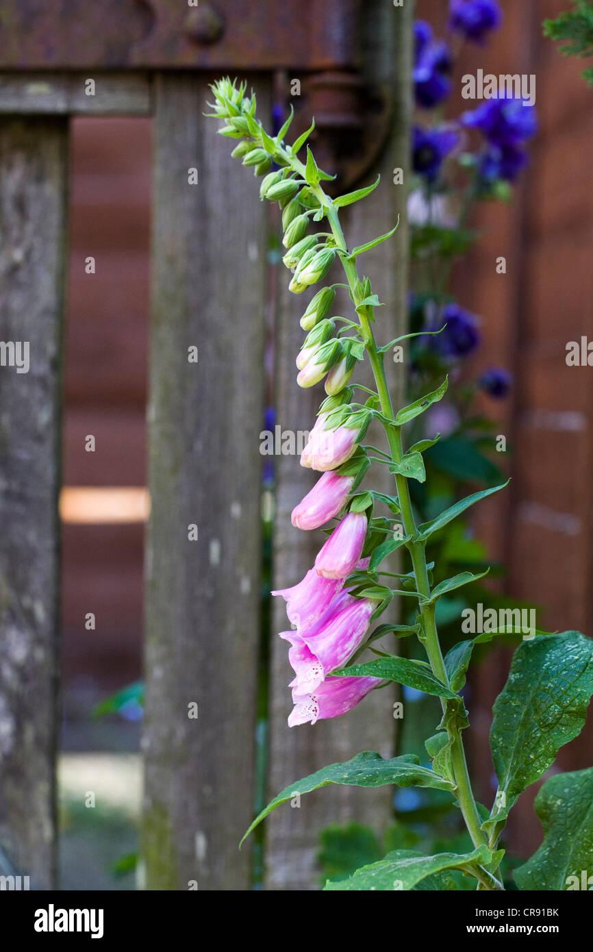 Digitalis purpurea against an old wooden gate. - Stock Image