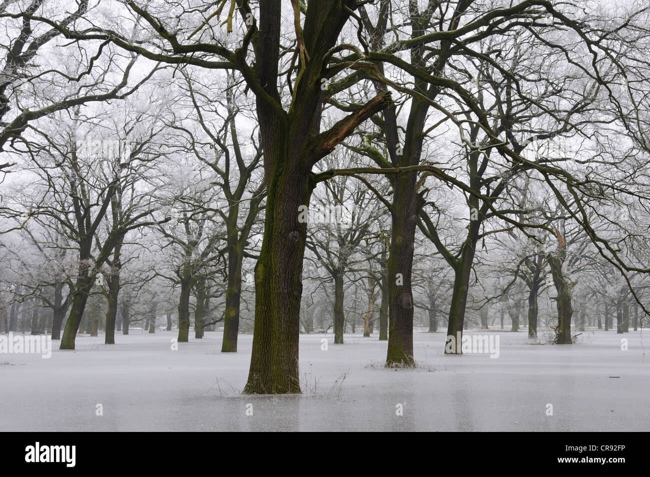 Frozen floodwater in the Middle Elbe Biosphere Reserve, Dessau, Saxony-Anhalt, Germany, Europe Stock Photo