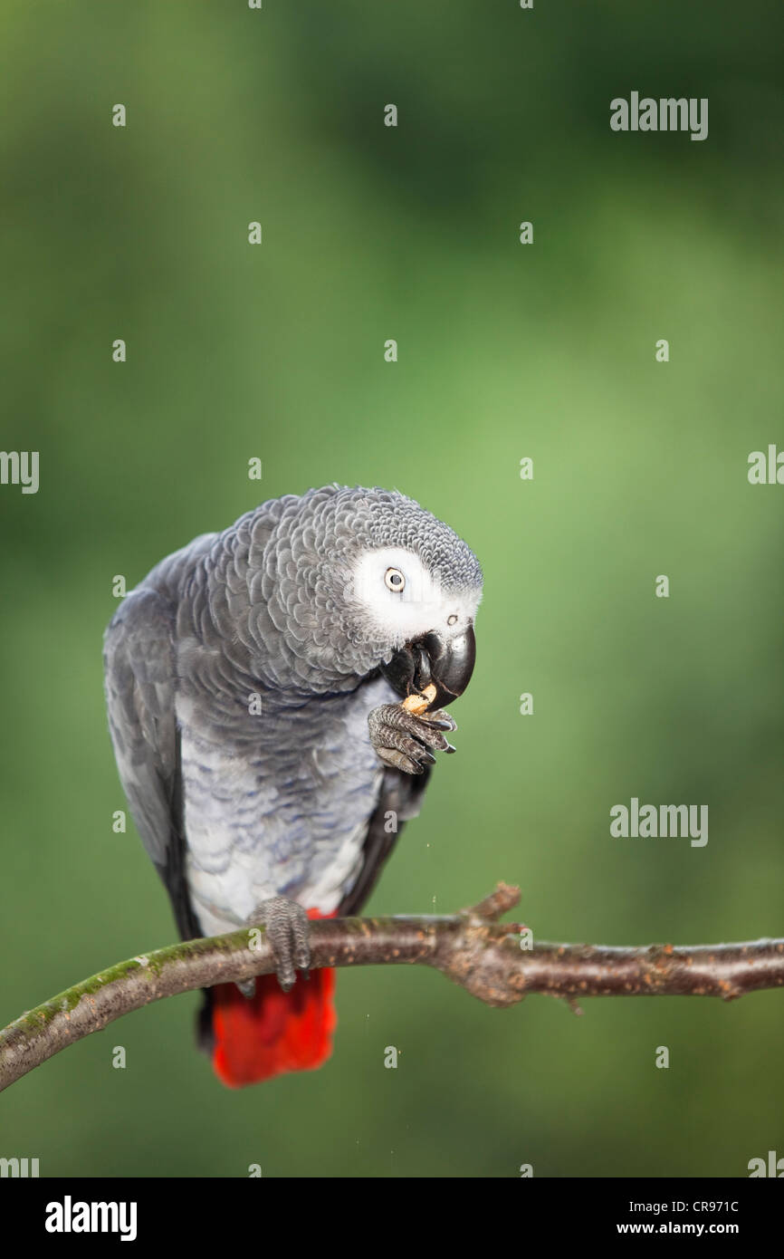 African grey parrot (Psittacus erithacus), Africa - Stock Image