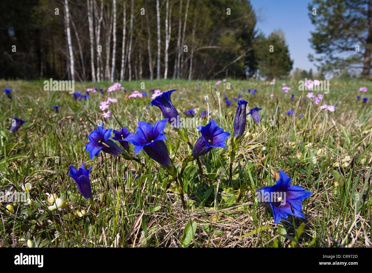 Flower field with clusius gentians (Gentiana clusii) and bird's-eye primroses (Primula farinosa), Upper Bavaria, - Stock Image