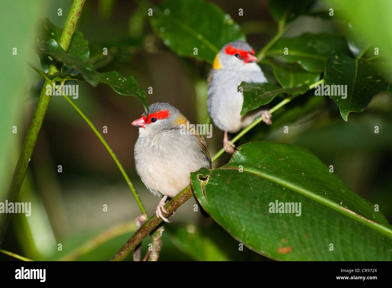 Pair of Red-browed Finches (Neochmia temporalis), Queensland, Australia - Stock Image