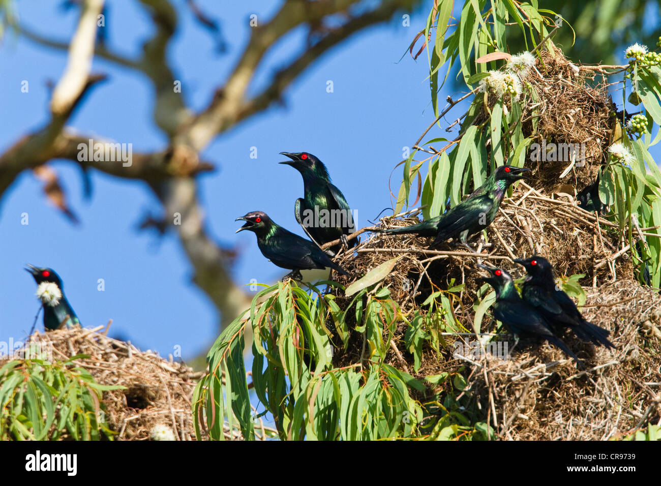 Shining Starlings (Aplonis metallica) in a breeding colony, Daintree National Park, northern Queensland, Australia - Stock Image
