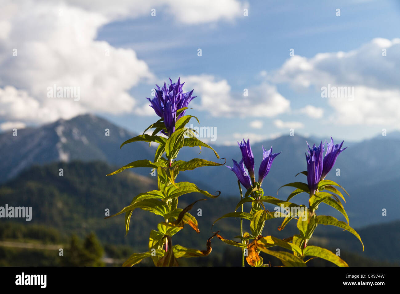Willow Gentian (Gentiana asclepiadea), Alps, Austria, Europe - Stock Image
