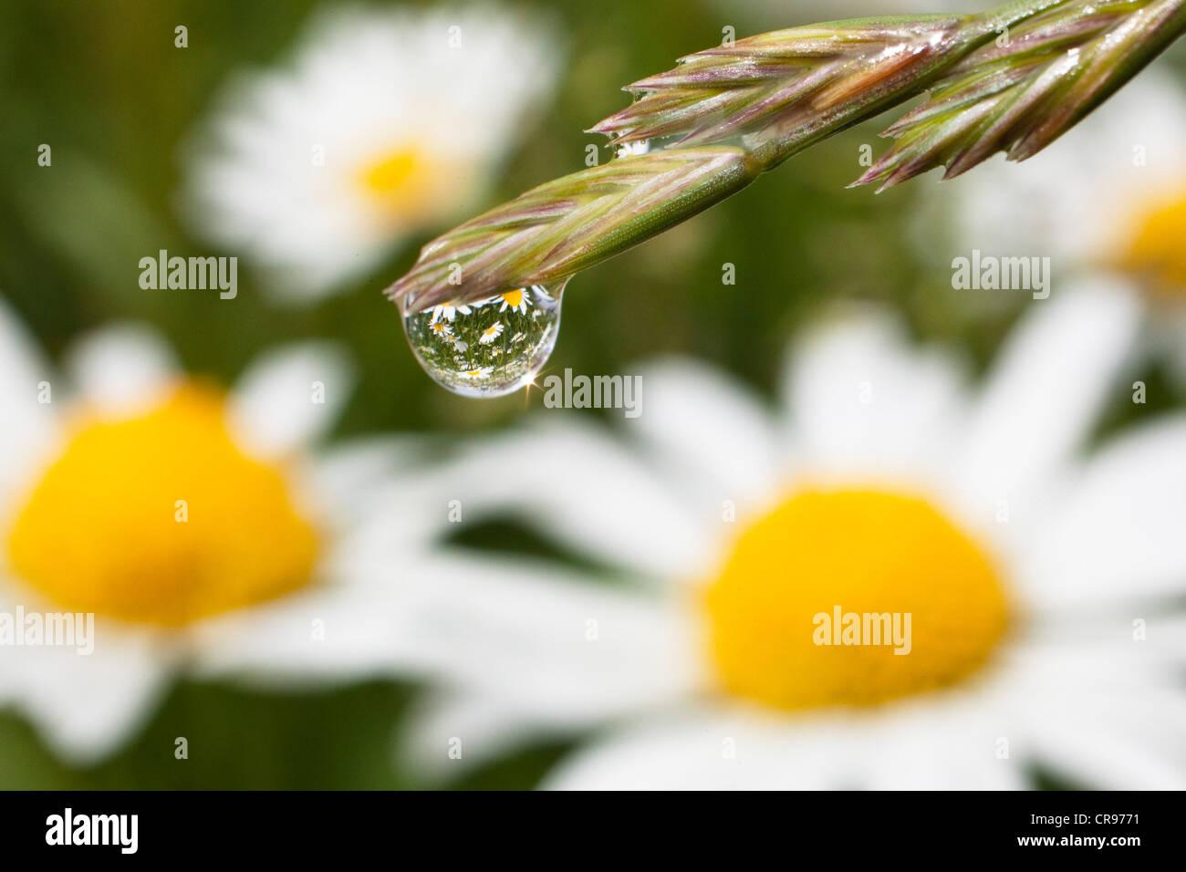 Dew drop on grass and Daisies (Leucanthemum vulgare), Upper Bavaria, Bavaria, Germany, Europe - Stock Image