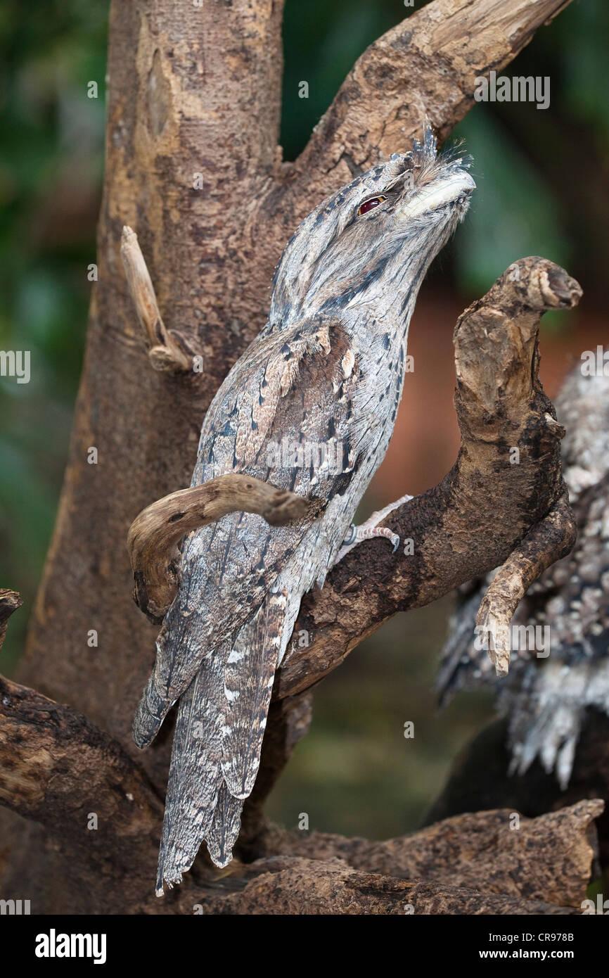 Tawny Frogmouth (Podargus strigoides), Queensland, Australia Stock Photo