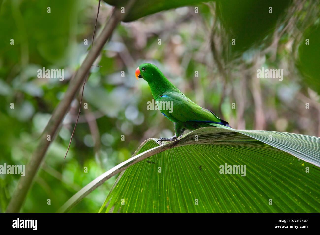 Eclectus Parrot (Eclectus roratus), male, rainforest, Cape York Peninsula, northern Queensland, Australia Stock Photo