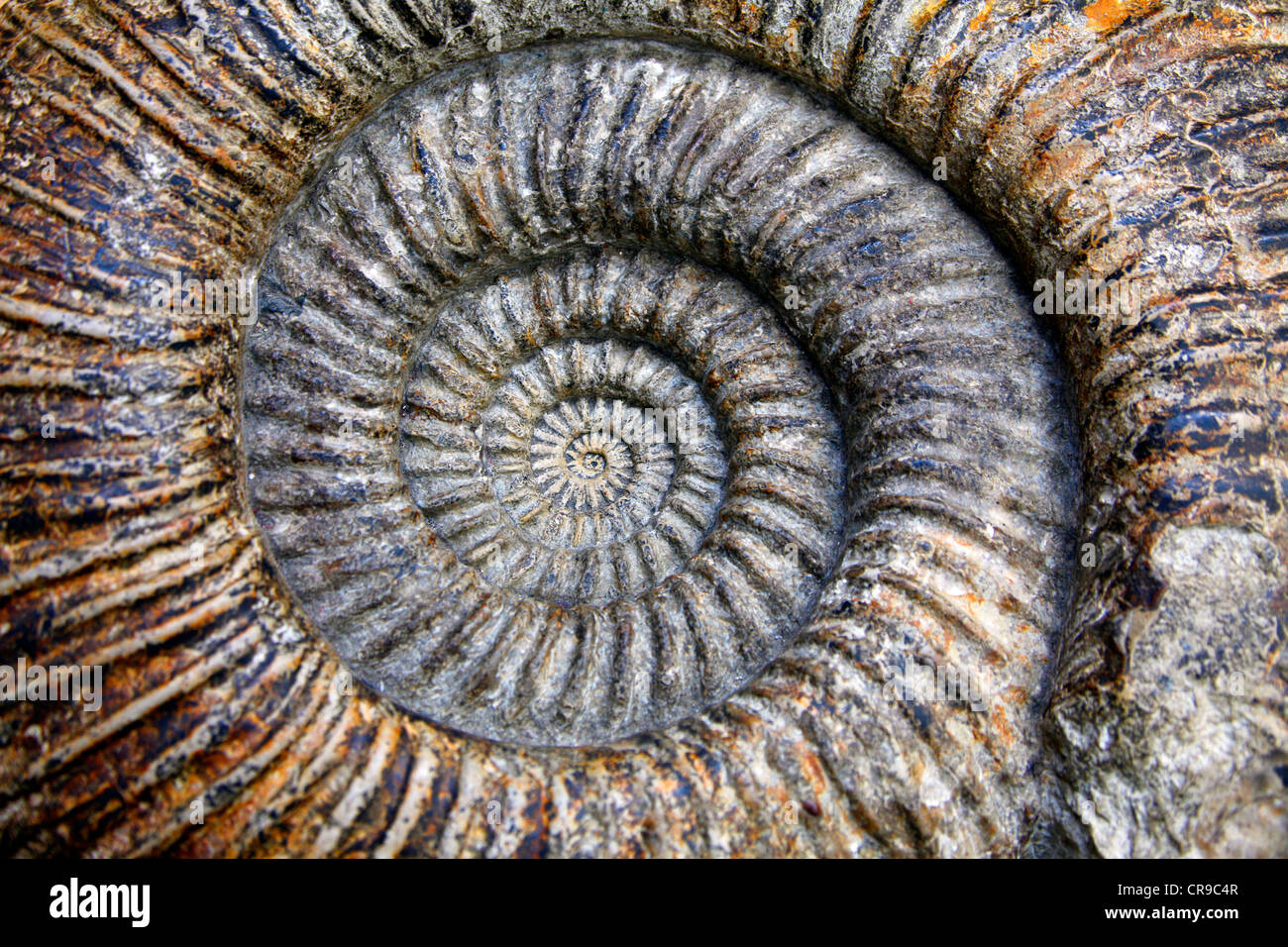 Ammonite, about 140 million years old fossilized cephalopods in the Oxford University Museum of Natural History, - Stock Image