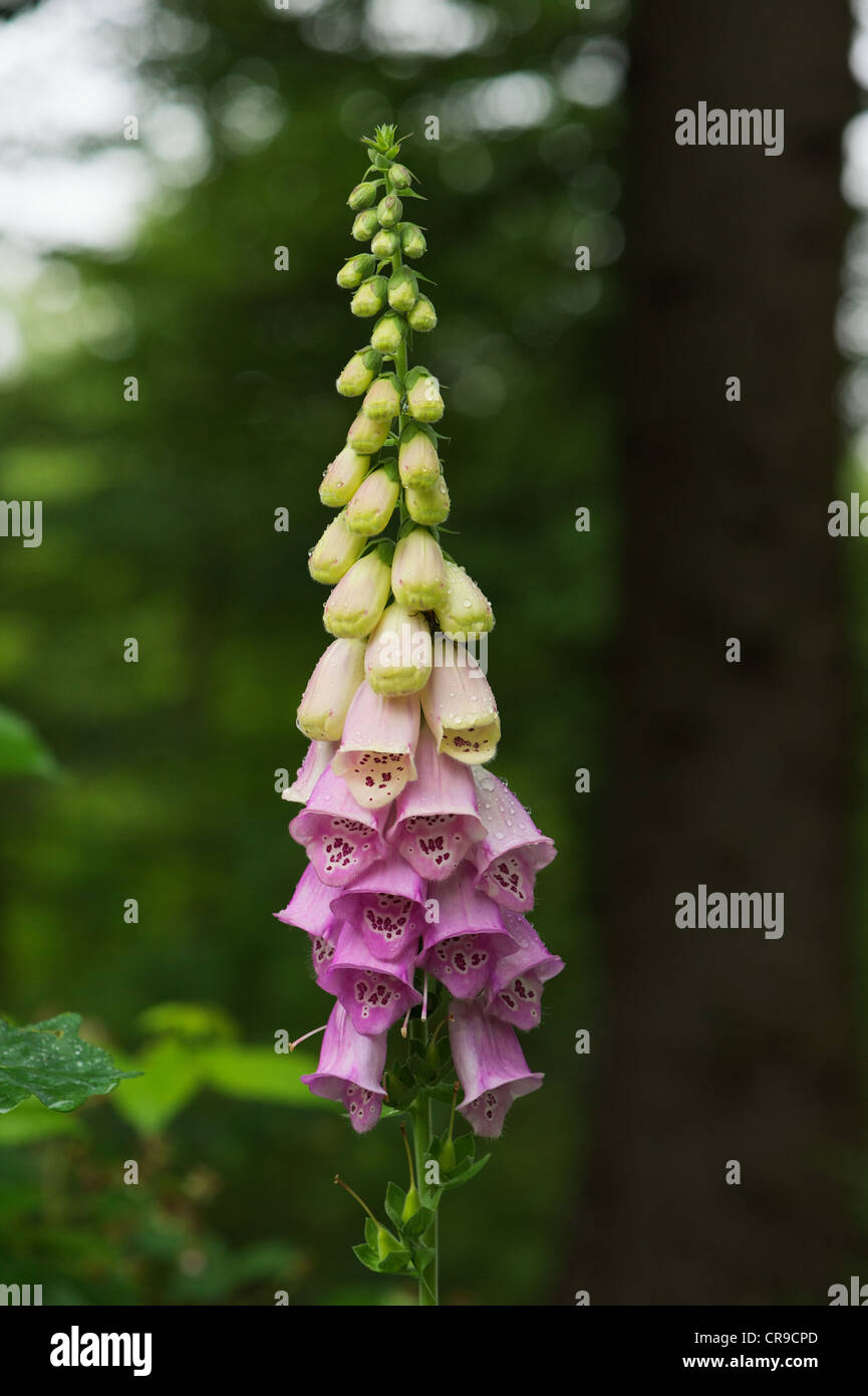 Foxglove in forest setting and after rain - Stock Image