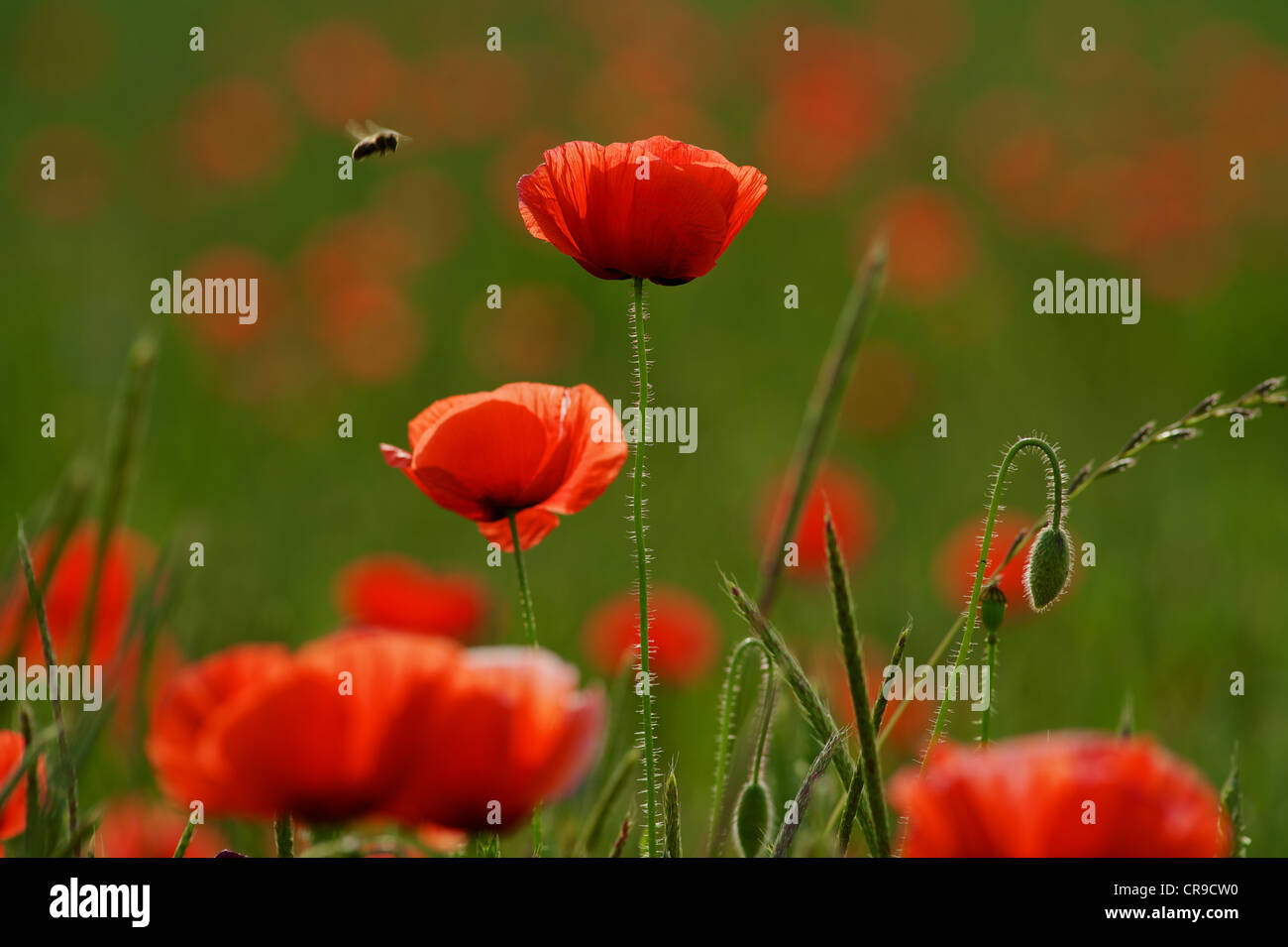 Poppies in the field with approaching bee - Stock Image