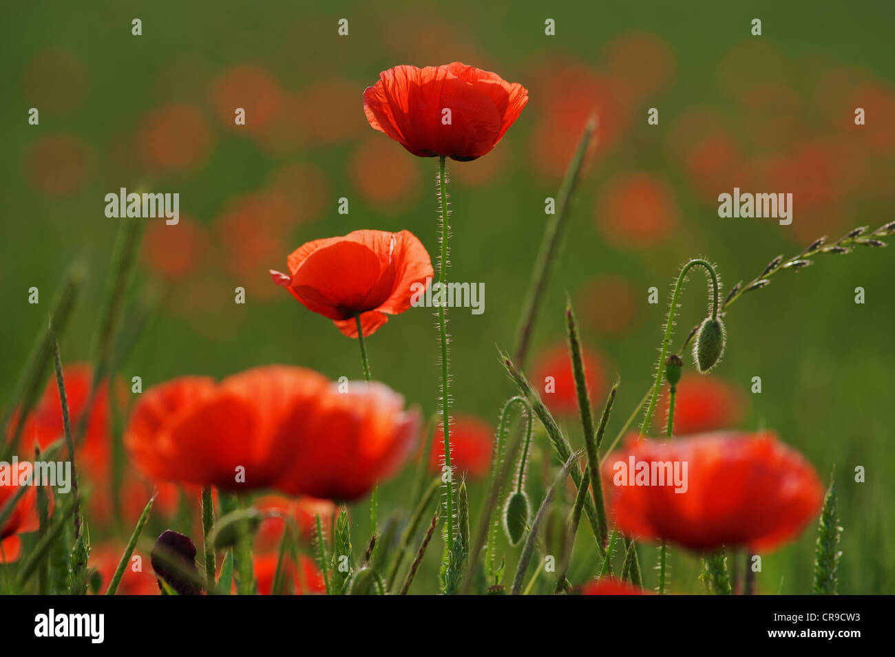 Poppies in the field - Stock Image