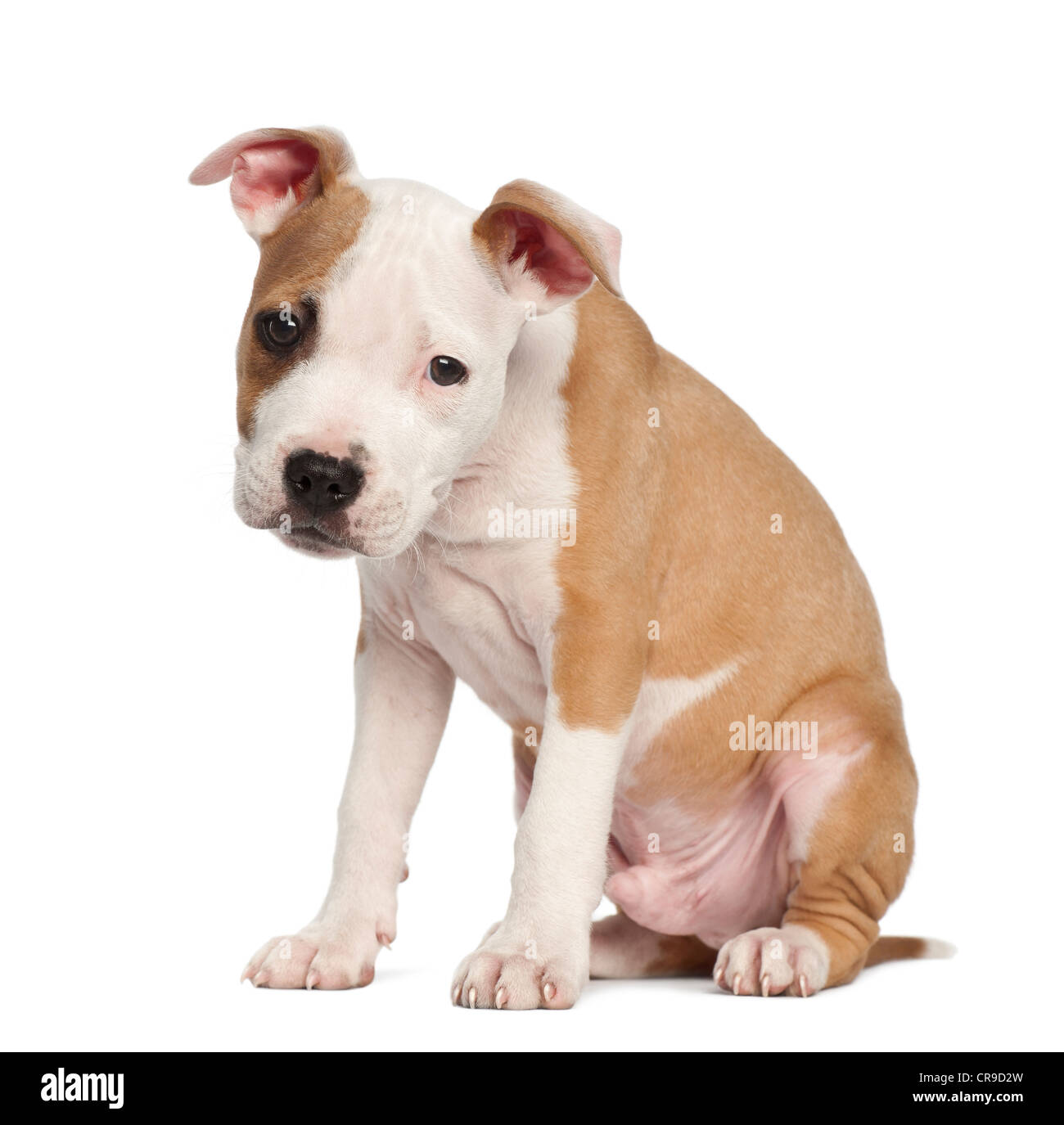 American Staffordshire Terrier puppy, 2 months old, standing