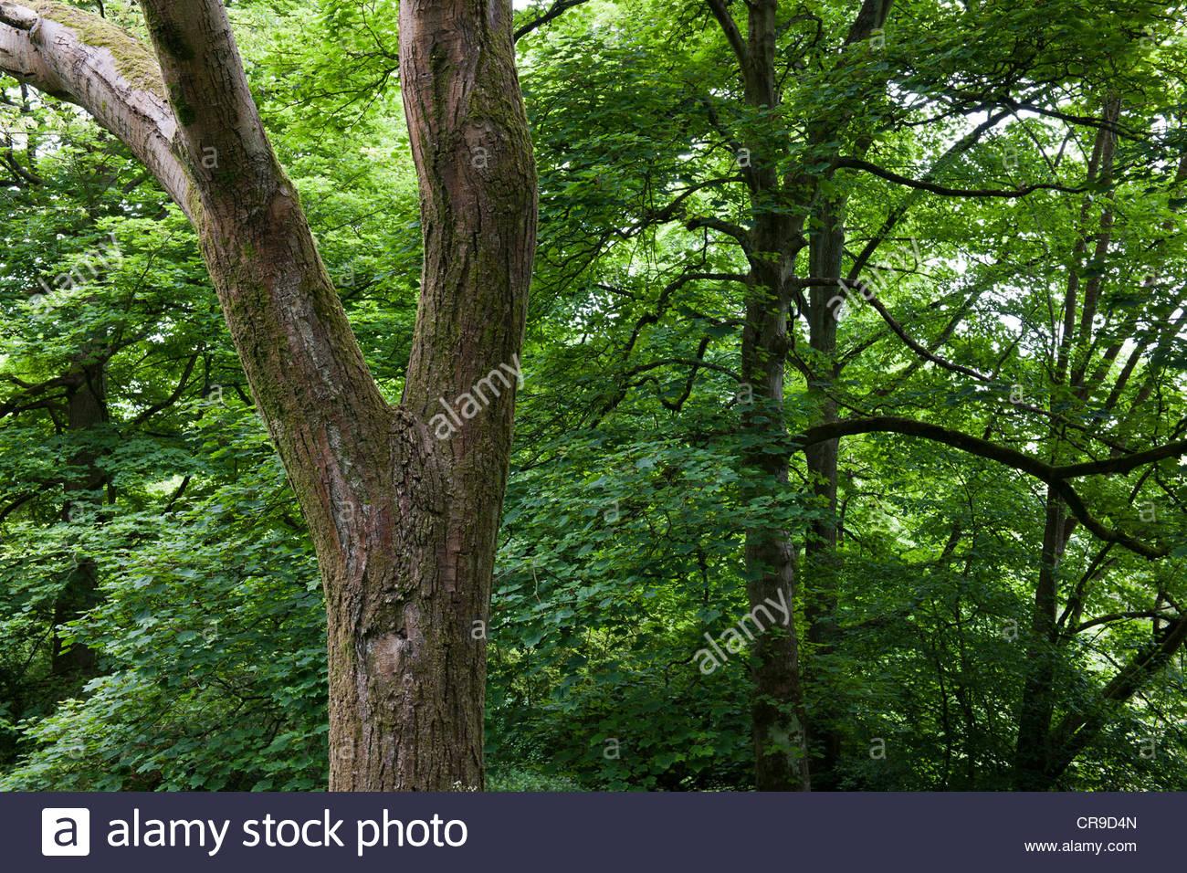 Ulmus villosa Cherry Bark Elm - Stock Image