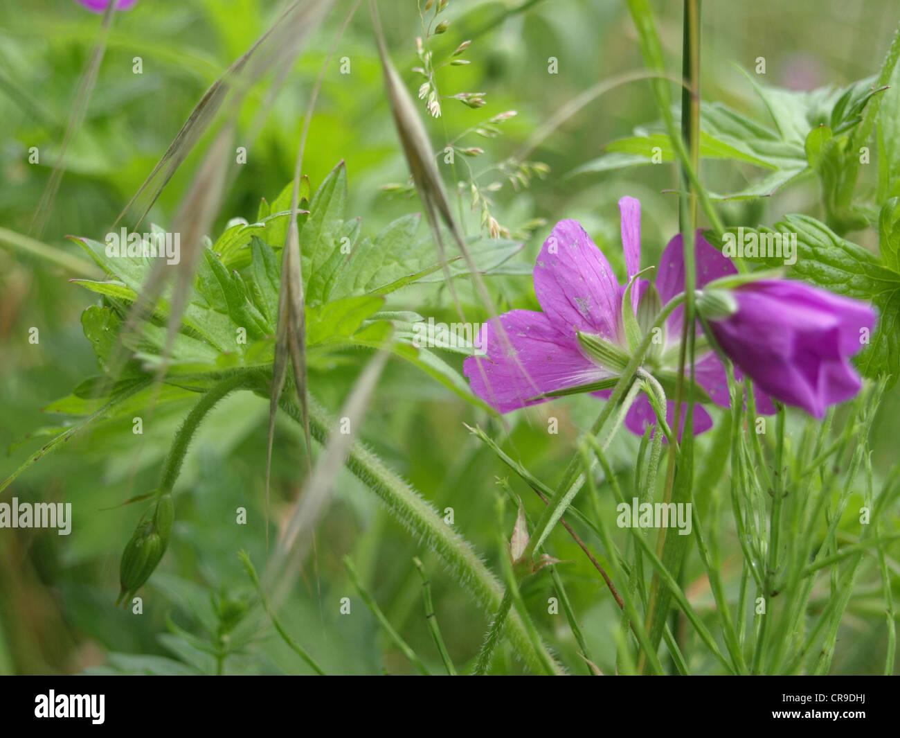 meadow cranesbill / Geranium pratense / Wiesen-Storchschnabel - Stock Image