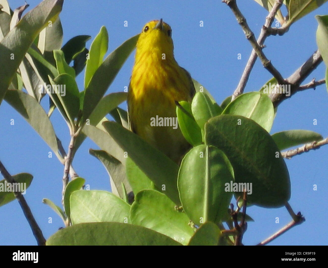 Yellow warbler on tree taken from below - Stock Image