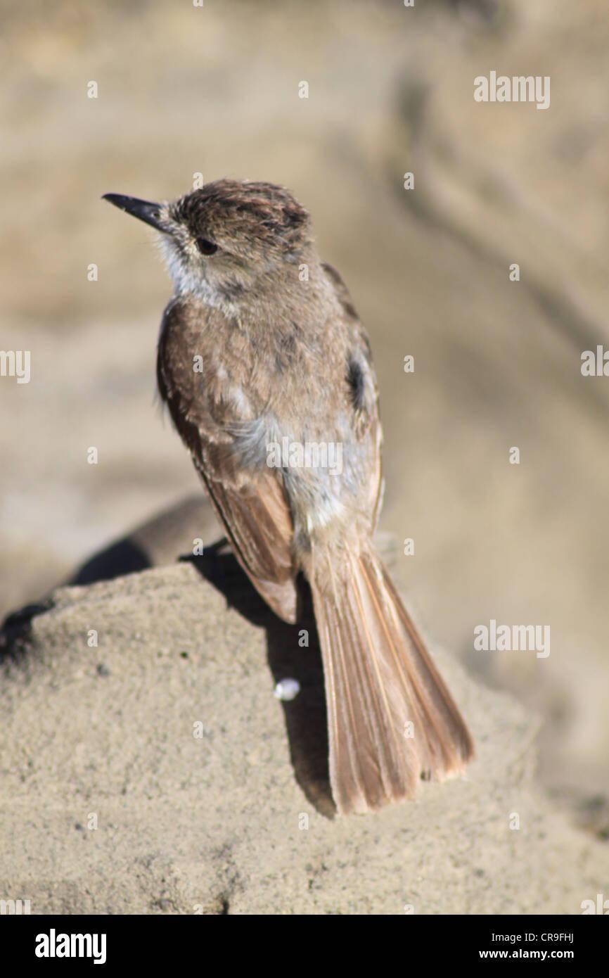 Mocking bird perched on rock on Galapagos Islands Ecuador - Stock Image