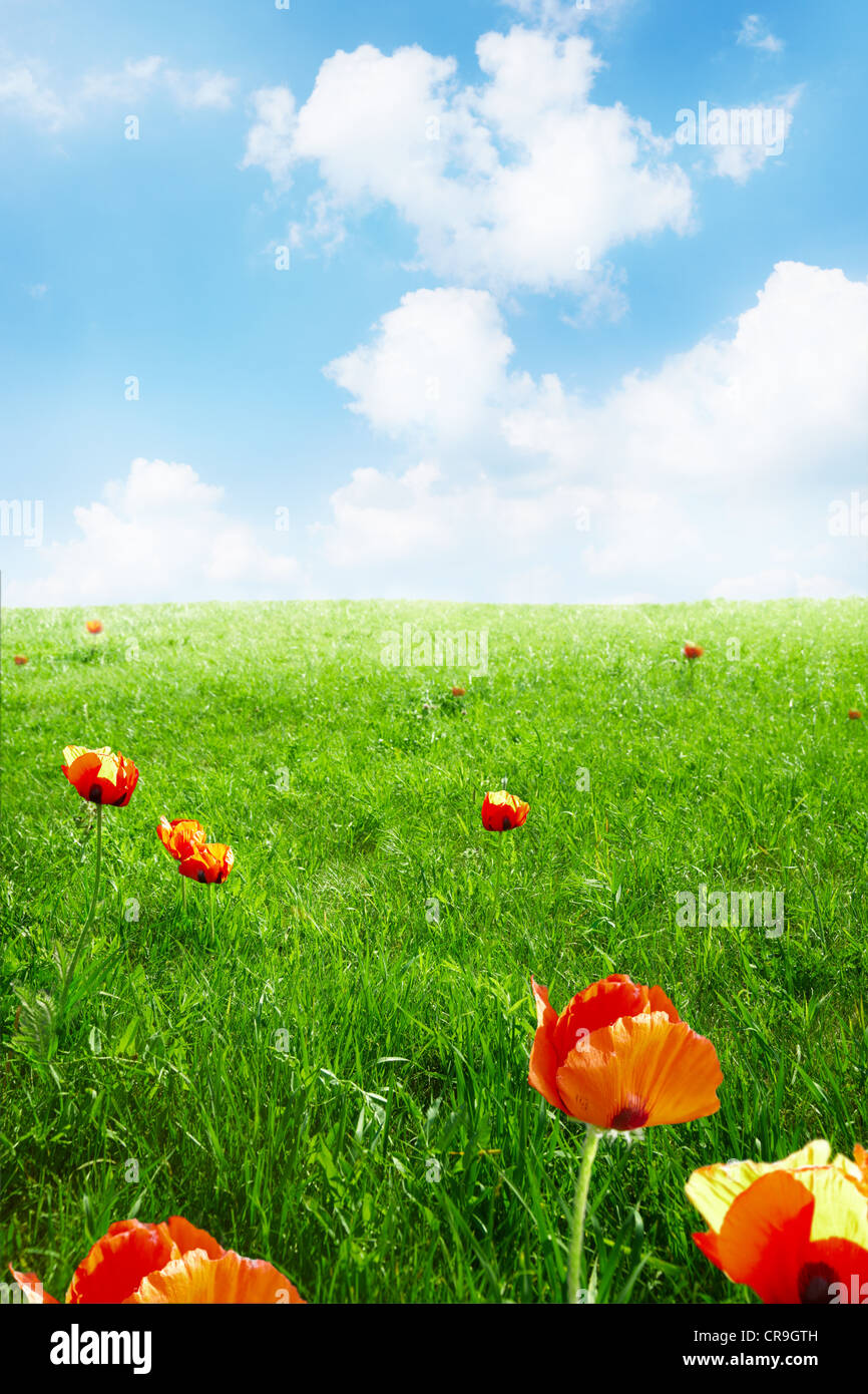 Red poppies on green field and blue sky, selective focus - Stock Image