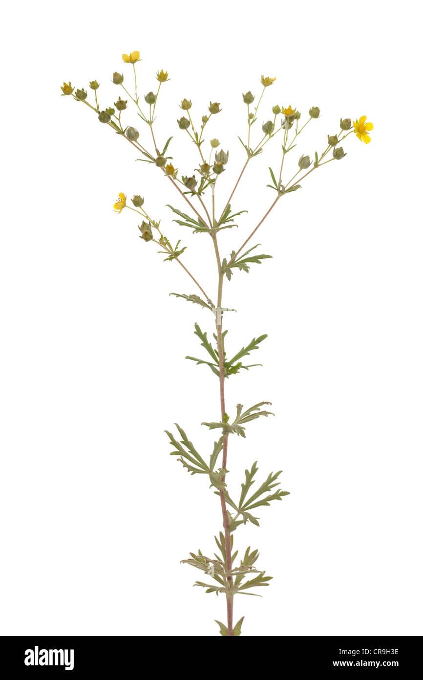 little yellow flower (Potentilla argentea) on white Stock Photo