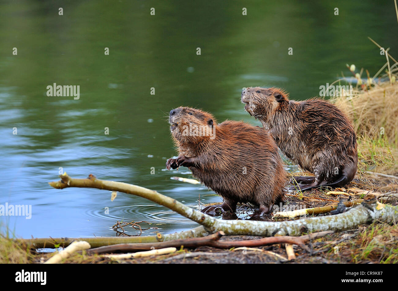 Two wild beavers on the edge of a lake standing on their rear feet to get a better view of the surroundings. - Stock Image