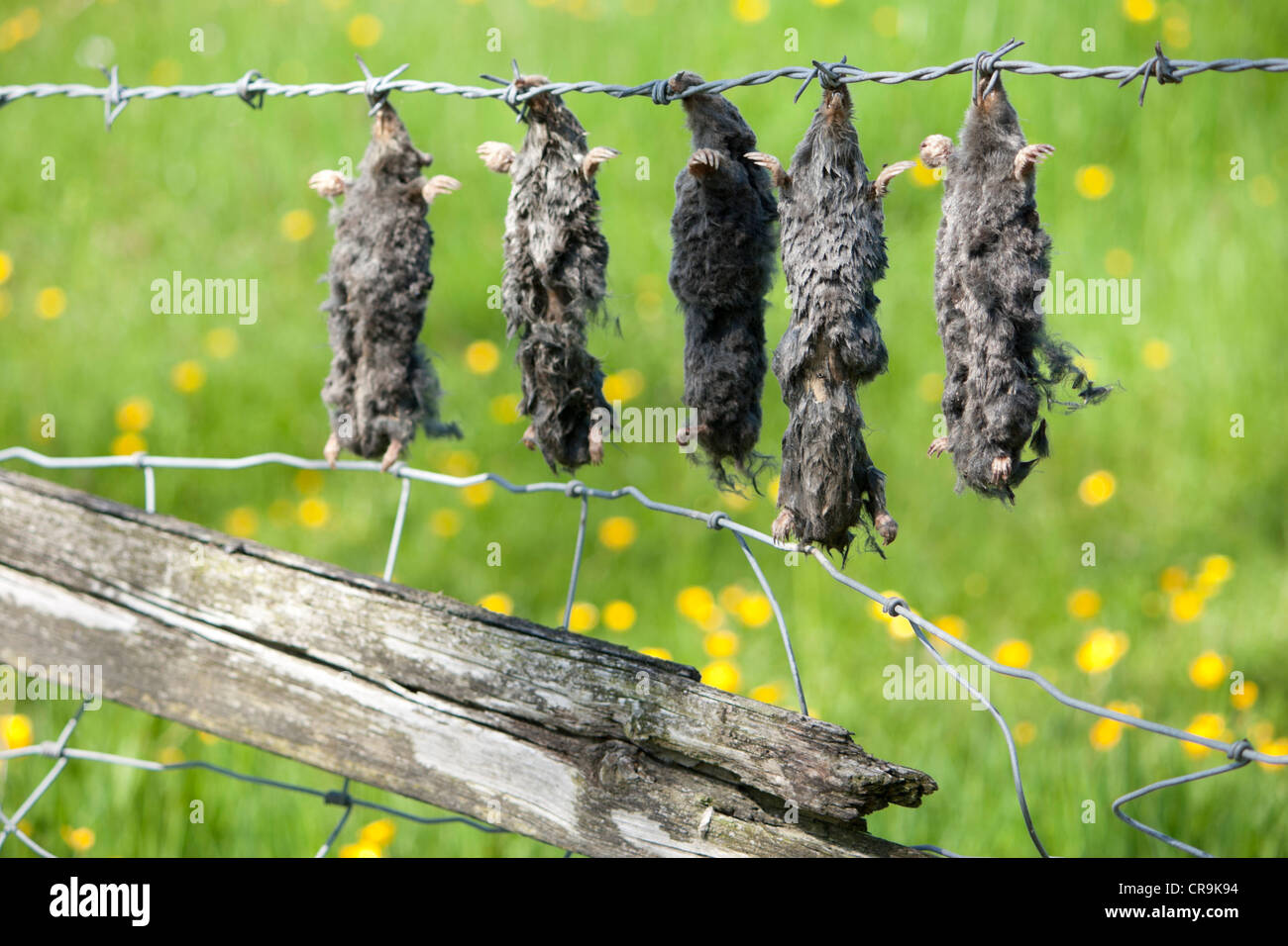 Dead moles hung on barbed wire fence by mole catcher - Stock Image