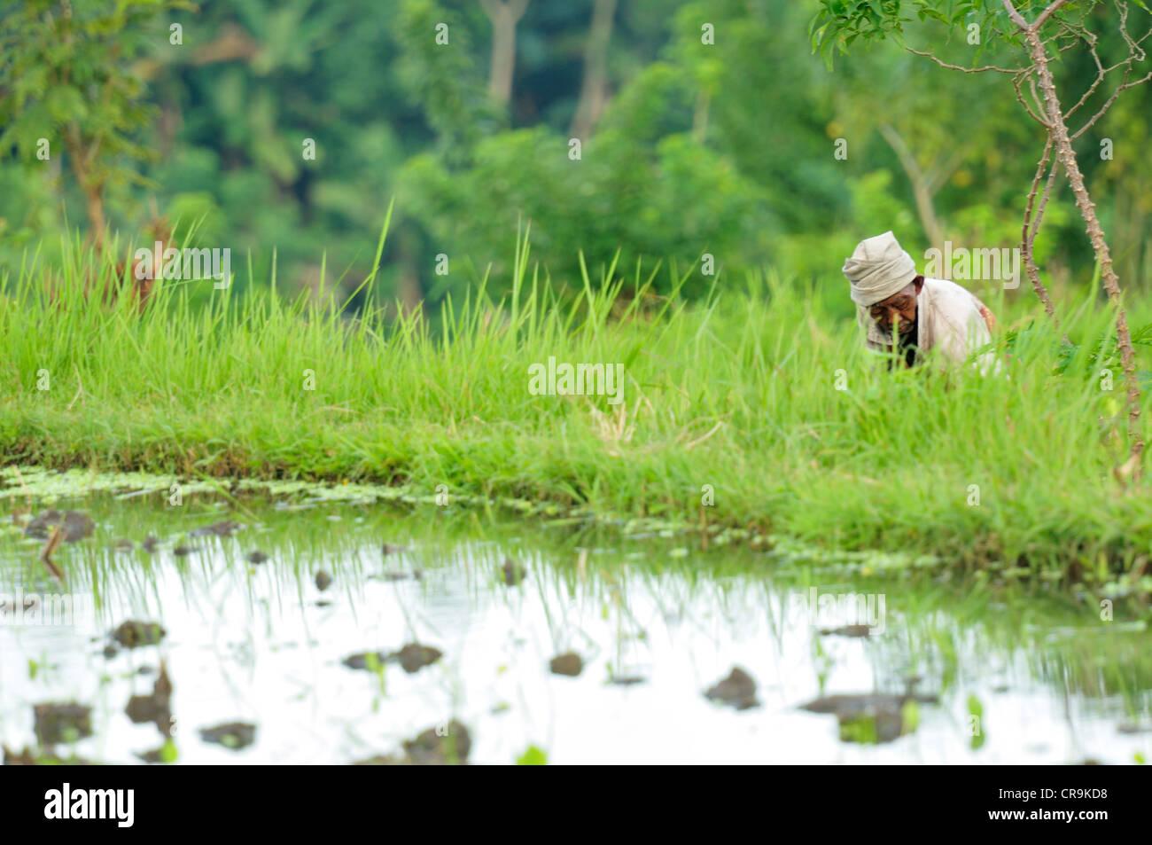Rice terraces,Tirtaganggaa Bali, Indonesia, Asia - Stock Image