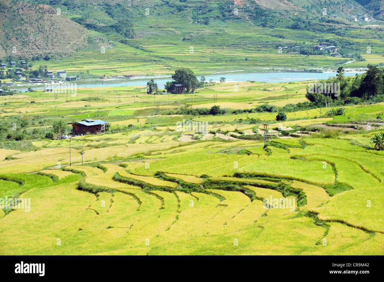 rices fields, Bhutan, Asia - Stock Image