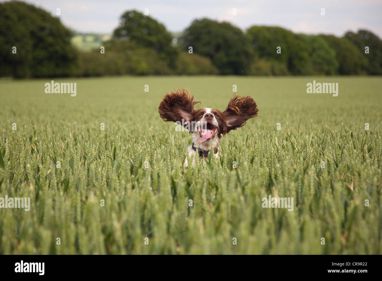 Cocker Spaniel running through growing wheat - Stock Image