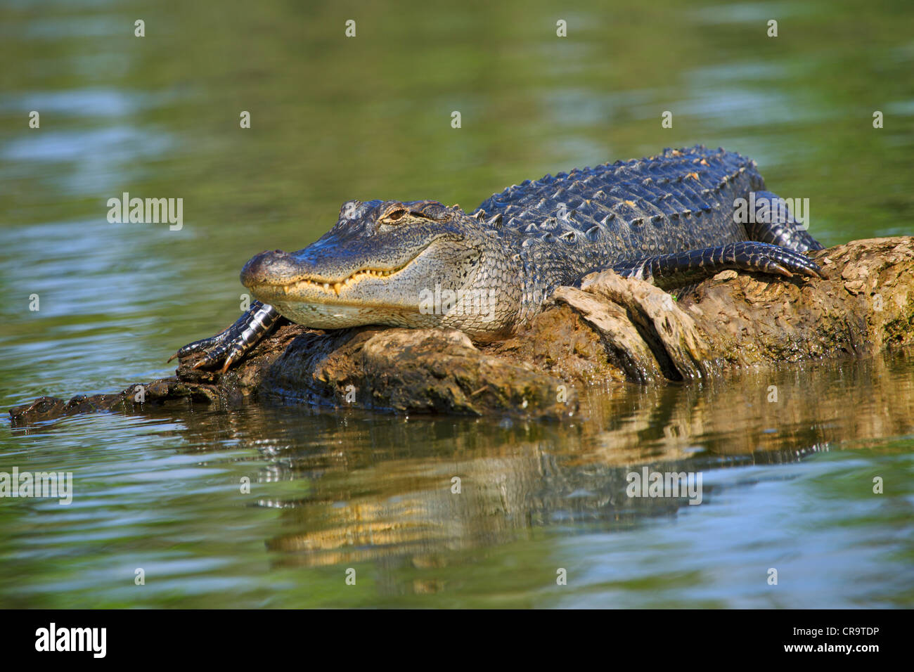 Male alligator, Alligator mississippiensis. Male alligator resting on a floating log in Lake Martin, Louisiana - Stock Image