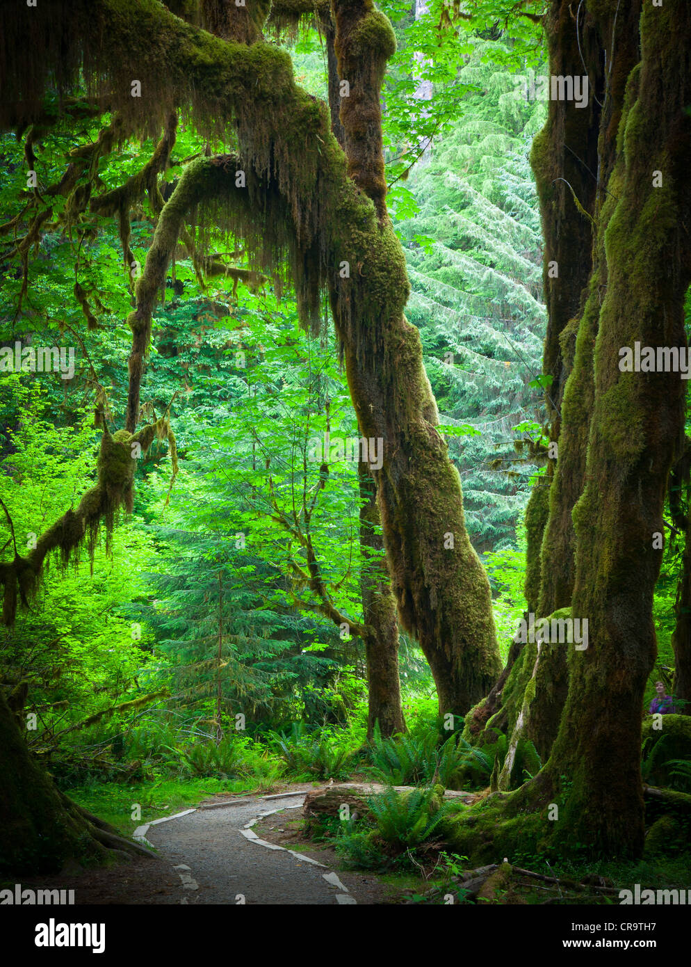 Hoh rain forest and the Hall of Mosses trail in Olympic National Park in the spring - Stock Image