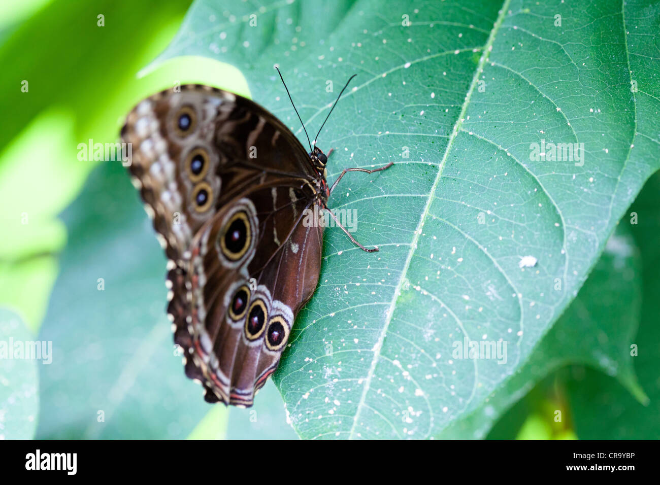 Owl Butterfly Caligo Memnon Resting on leaf see also CR9YD6 and CR9YEN - Stock Image