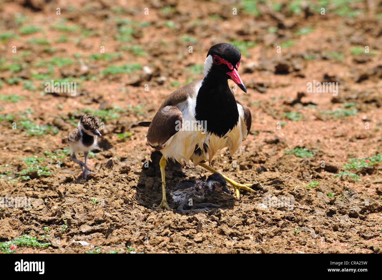 RedWattled Lapwing of  South India - Stock Image