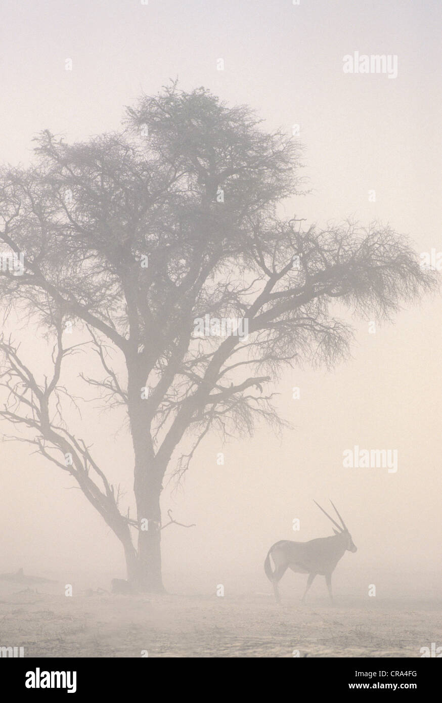 Global warming, sandstorm and gemsbok at 45C temperatures, Kgalagadi Transfrontier Park, South Africa - Stock Image