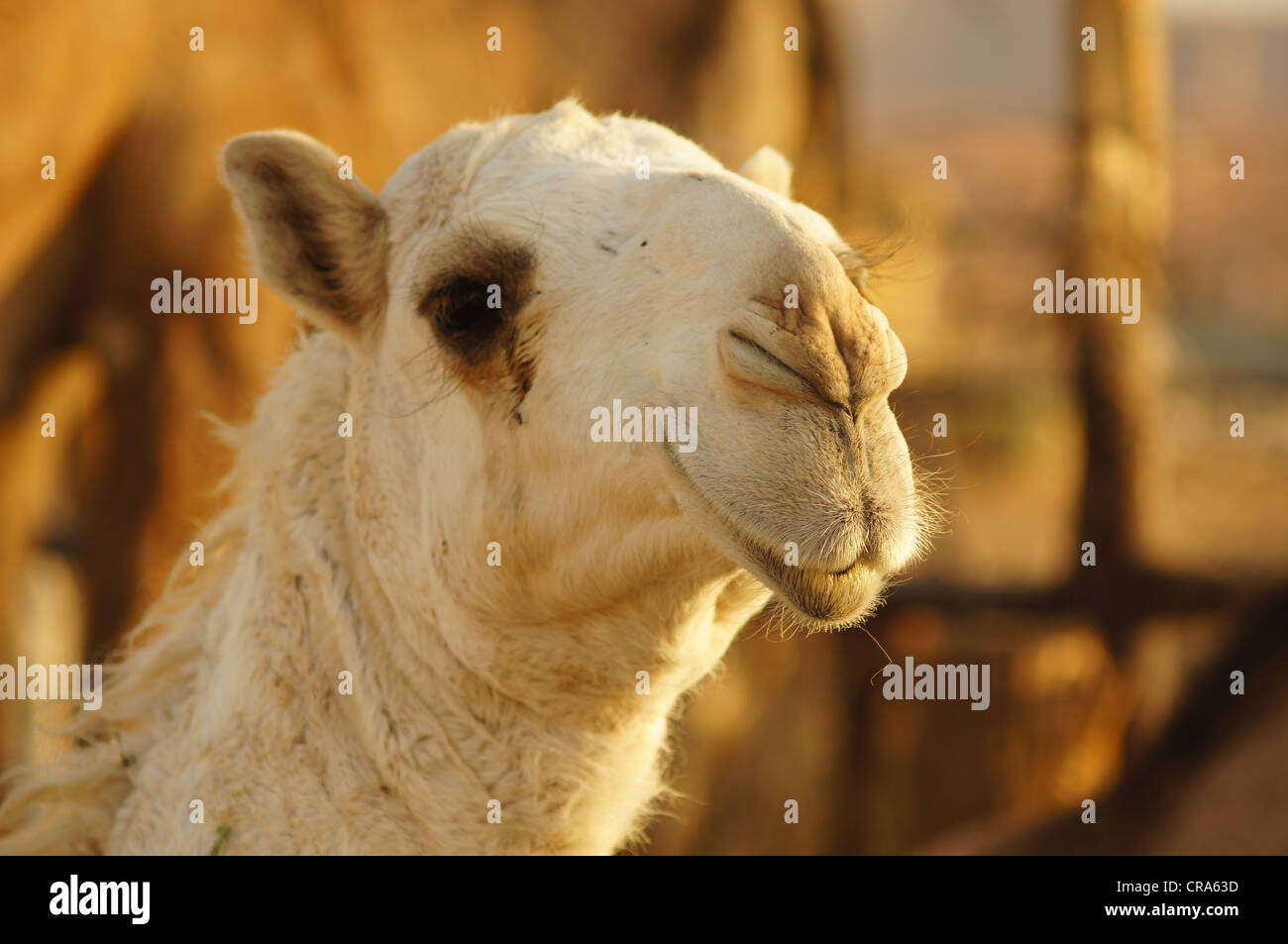 Close up of a camel's head at the Red Sands, Riyadh, Kingdom of Saudi Arabia - Stock Image