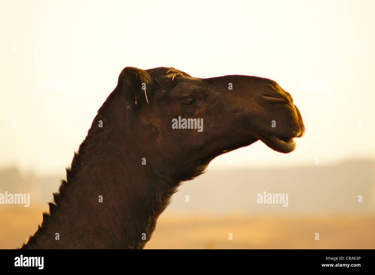 Black camel profile picture. Taken in the Red Sands desert, Riyadh, Kingdom of Saudi Arabia - Stock Image