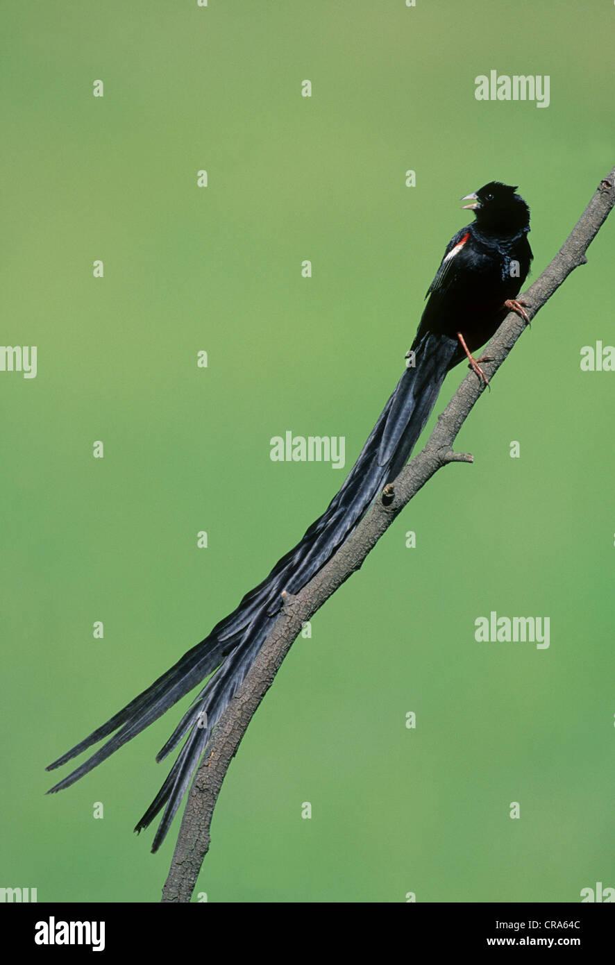 Long-tailed Widowbird (Euplectes progne), Midmar Nature Reserve, KwaZulu-Natal, South Africa, Africa - Stock Image