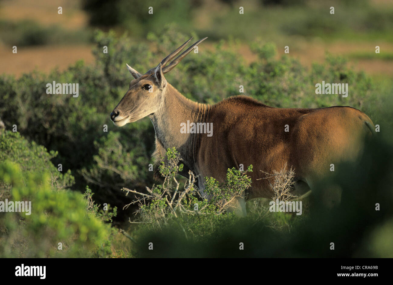 Eland (Taurotragus oryx), De Hoop Nature Reserve, Western Cape, South Africa, Africa - Stock Image