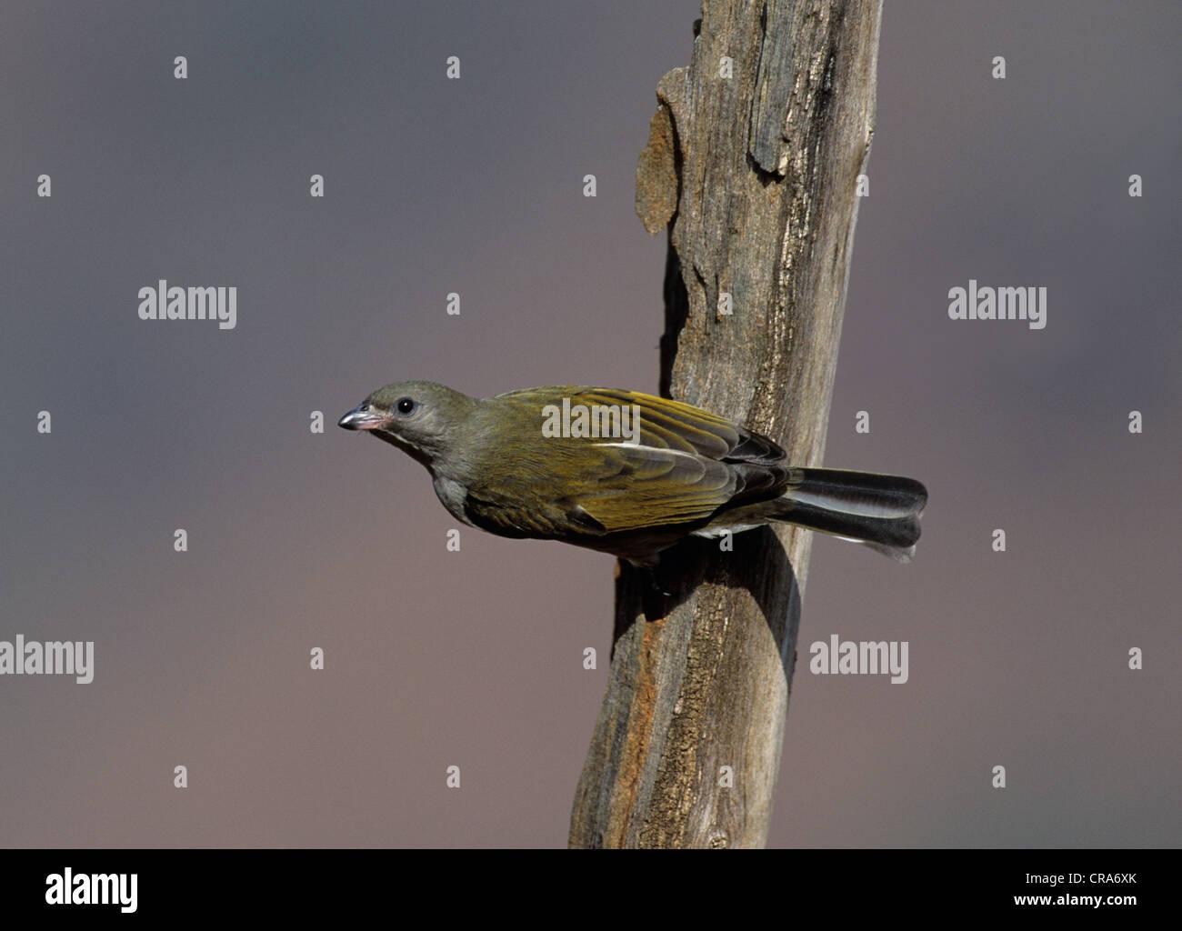 Lesser Honeyguide (Indicator minor), KwaZulu-Natal, South Africa, Africa - Stock Image