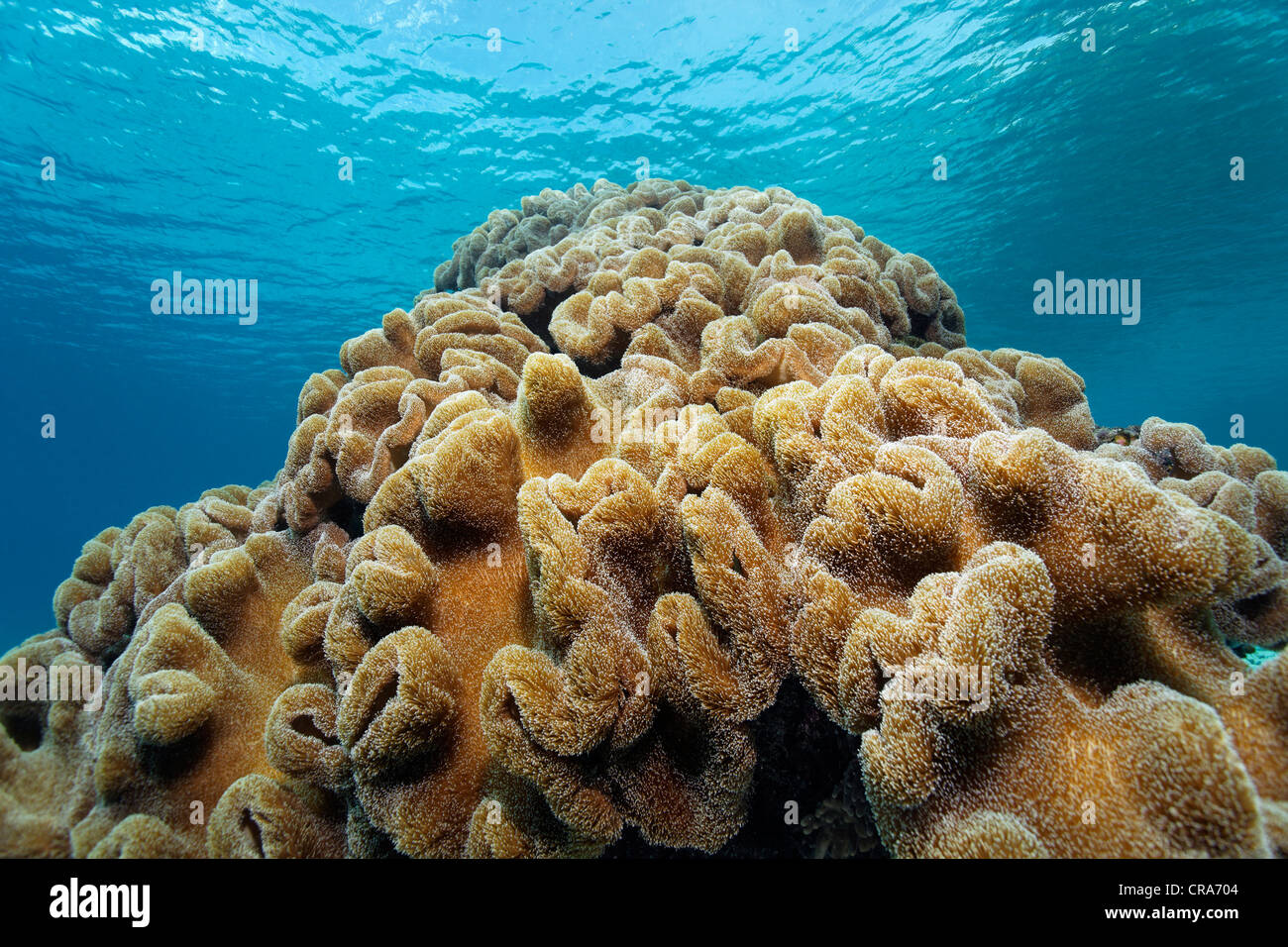 Leather Coral (Sarcophyton sp.) at coral reef, Great Barrier Reef, UNESCO World Heritage Site, , Australia, Pacific - Stock Image