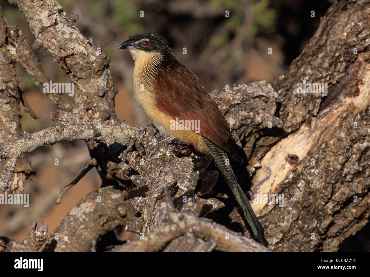 White-browed Coucal (Centropus supercillosus), Mkuze Game Reserve, Zululand, KwaZulu-Natal, South Africa, Africa - Stock Image