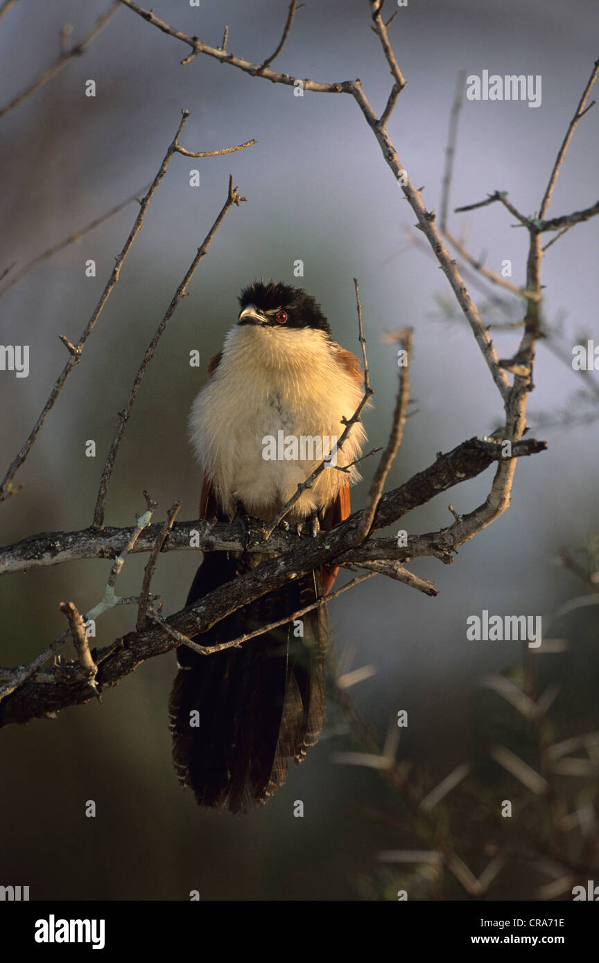 White-browed Coucal (Centropus superciliosus), Kruger National Park, South Africa, Africa - Stock Image