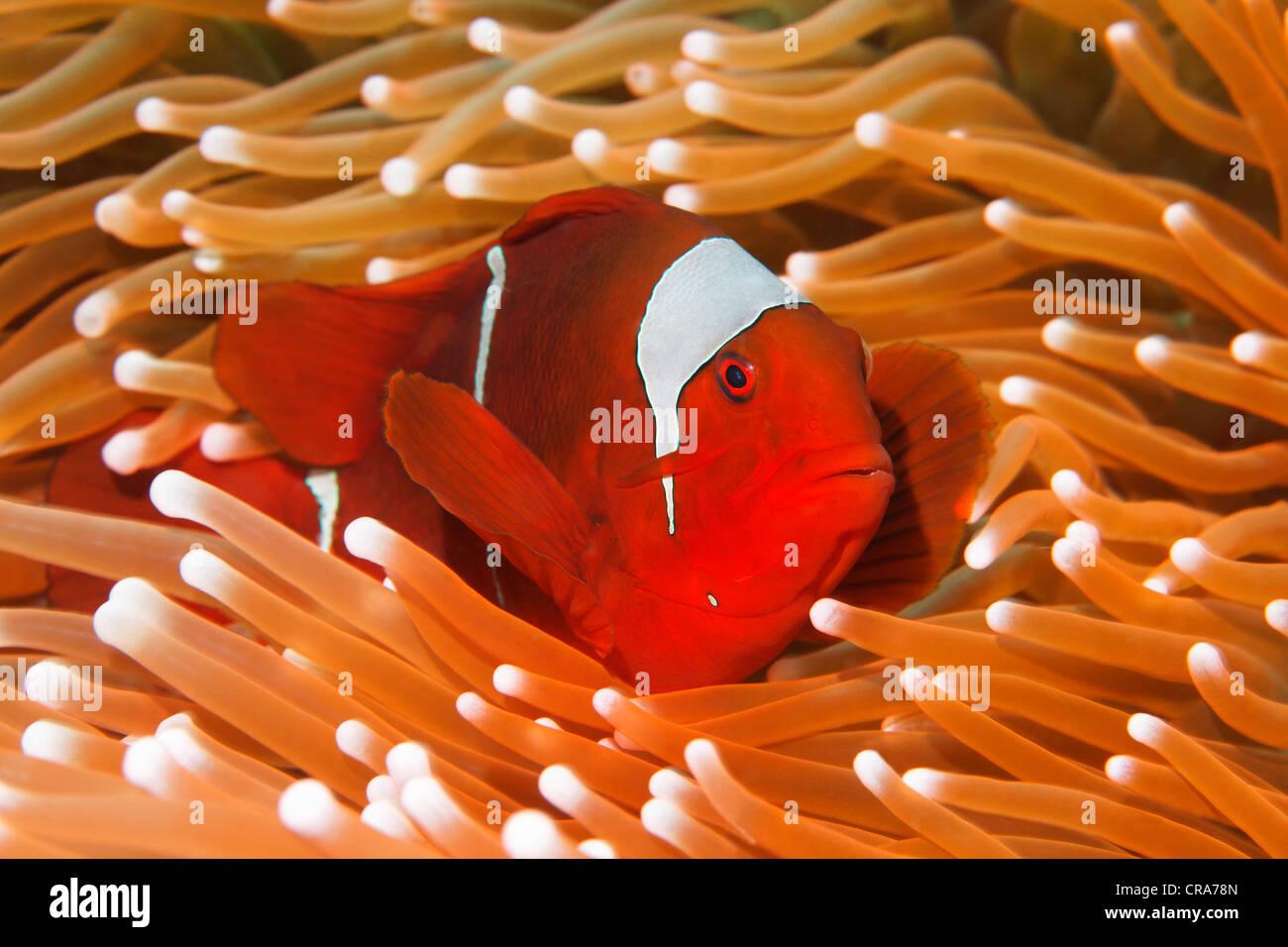 Maroon Clownfish Stock Photos & Maroon Clownfish Stock Images - Alamy