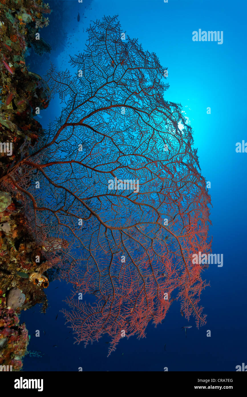 Red, unidentified coral sea fan on coral reef, steep wall, backlit, sun, Great Barrier Reef, UNESCO World Heritage - Stock Image