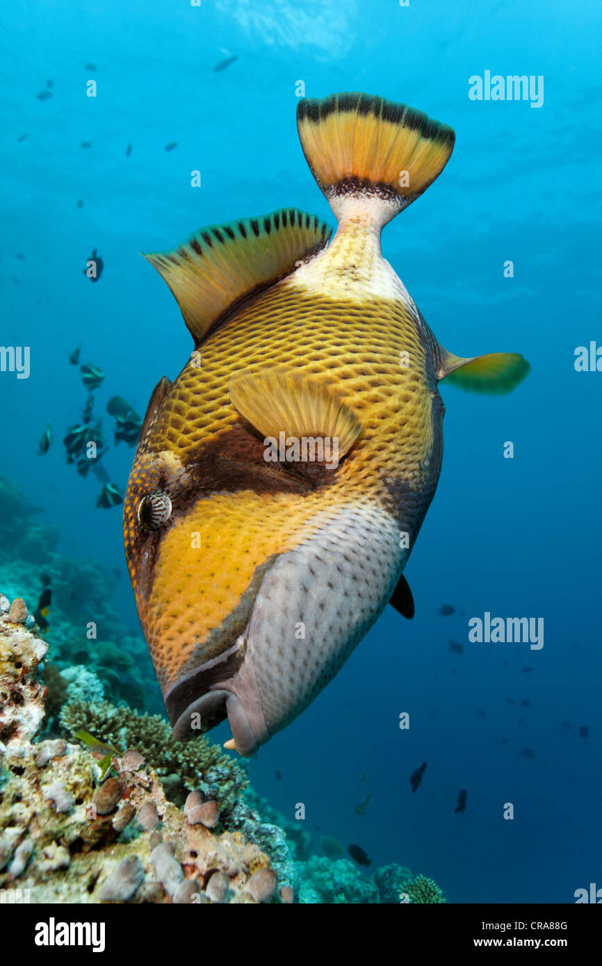 Giant Triggerfish or Titan Triggerfish (Balistoides viridescens) feeding on a coral reef, Great Barrier Reef - Stock Image